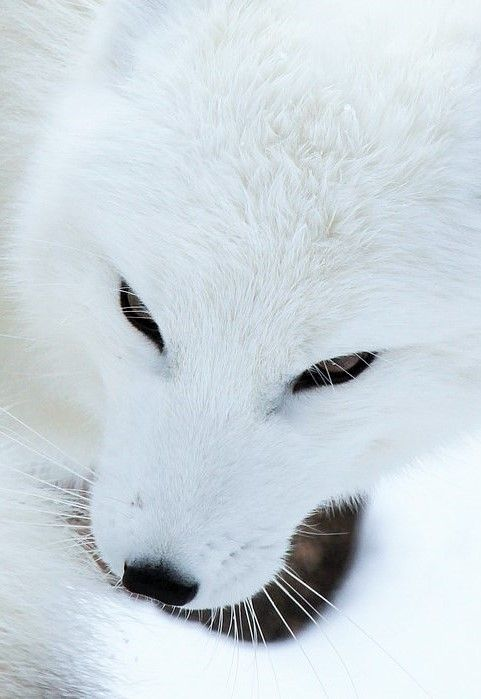 Arctic Fox Eyes by Mark Dumont https://www.flickr.com/photos/wcdumonts/