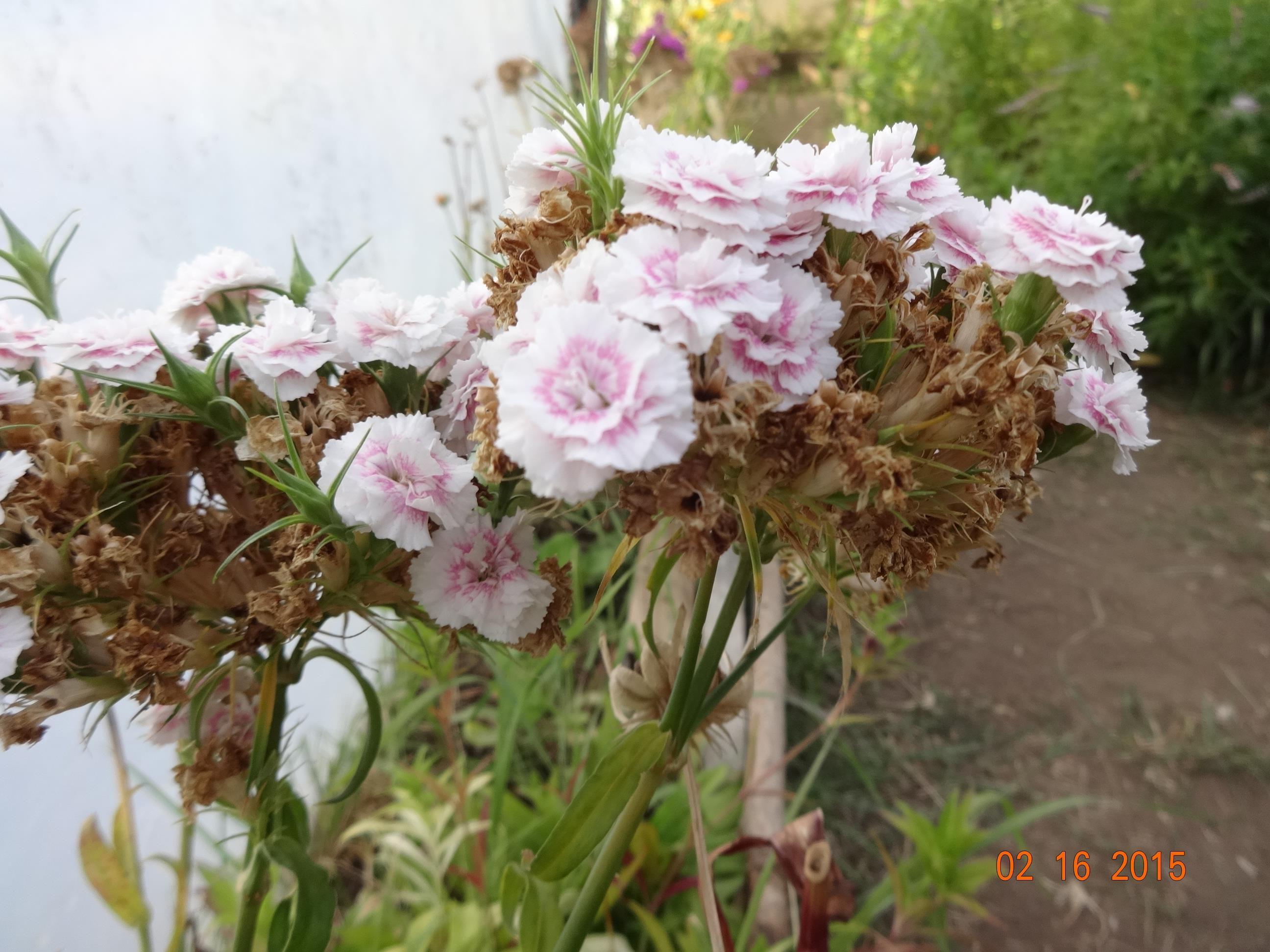El Calafate - Patagônia - Argentina - flores do frio -