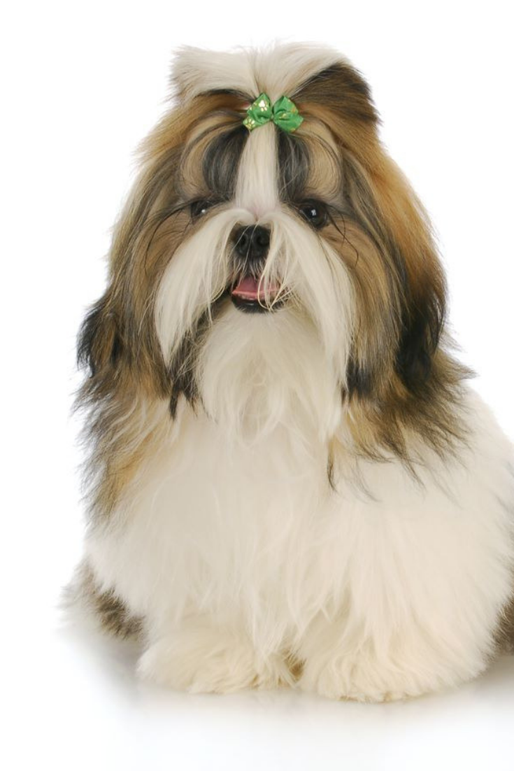 Cute Shih Tzu Puppy With Green Bow In Hair With Reflection On White Background Shihtzu Shih Tzu Puppy Shih Tzu Shih Tzus