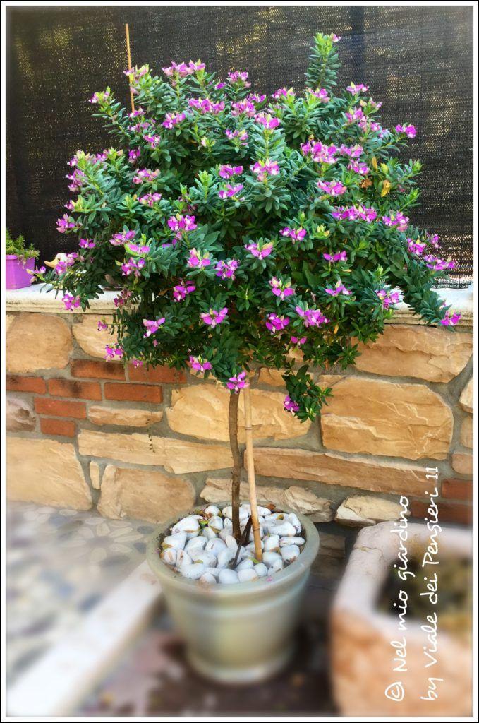 Polygala Myrtifolia pianta sempreverde dalla fioritura