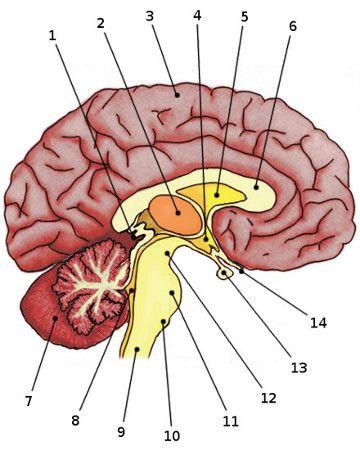 Free anatomy quiz - anatomy of the brain | Anatomy | Pinterest | Brain