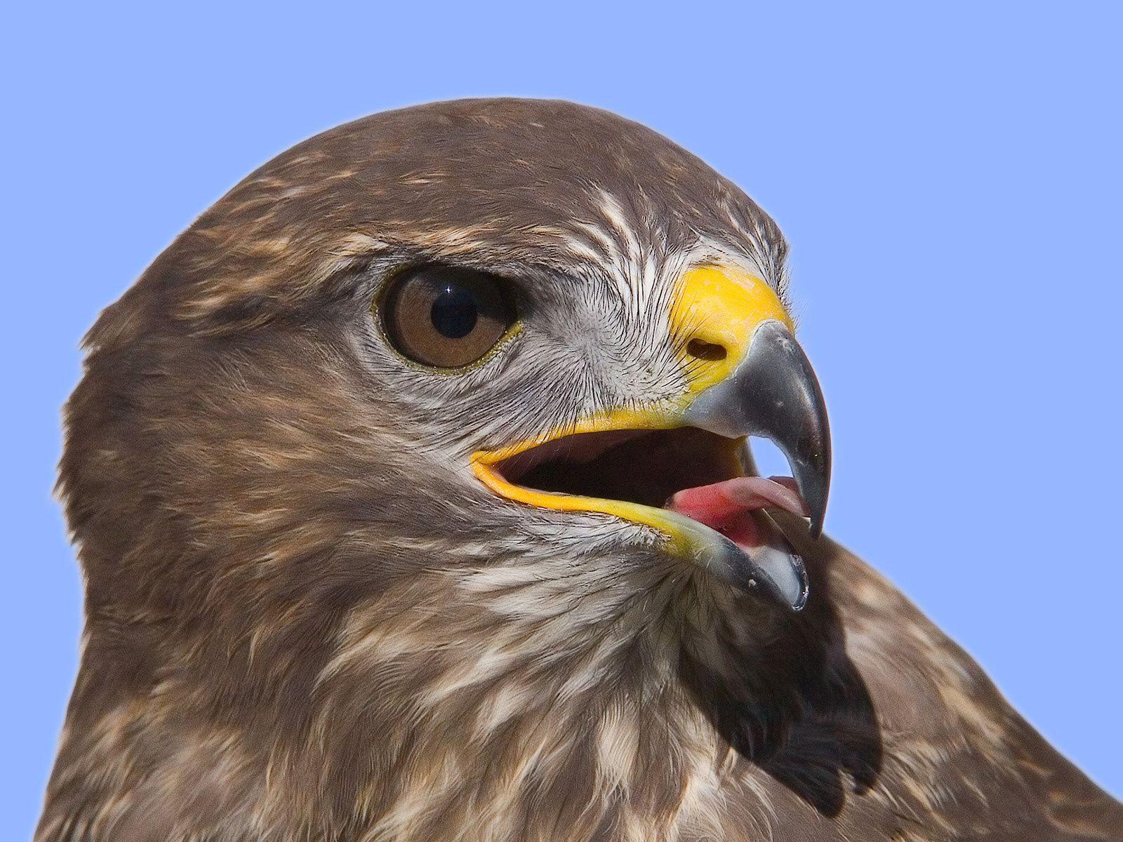 Raptorial Bird