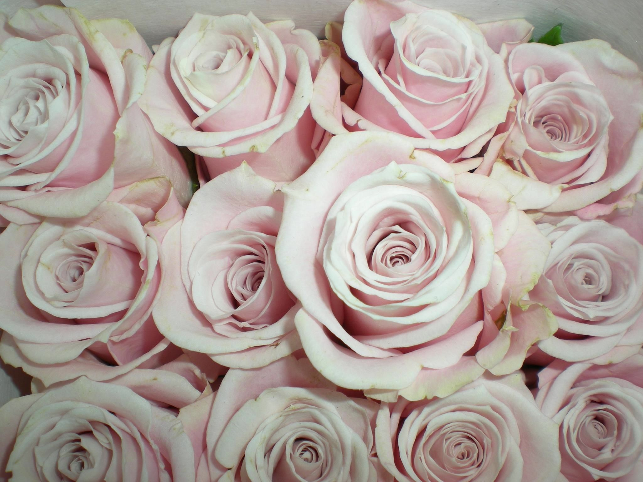 Home bulk roses peach roses - Sweet Escimo Roses Blush Pink For Bouquets