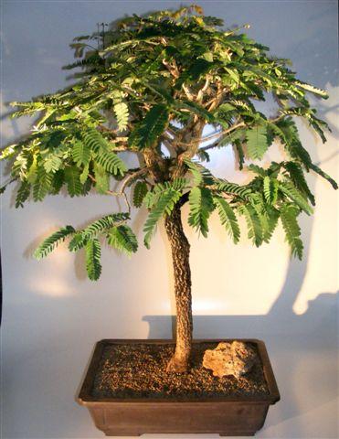 Flowering Tamarind Bonsai Tree (tamarindus indica