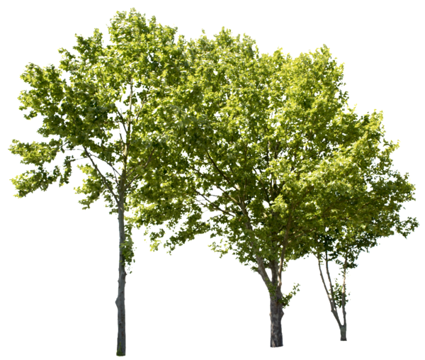Pin On Tree Png