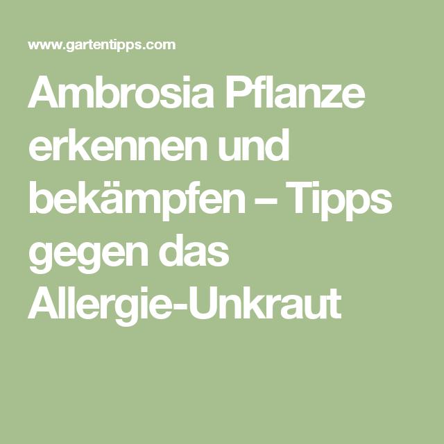 ambrosia pflanze erkennen und bek mpfen tipps gegen das allergie unkraut garten pinterest. Black Bedroom Furniture Sets. Home Design Ideas