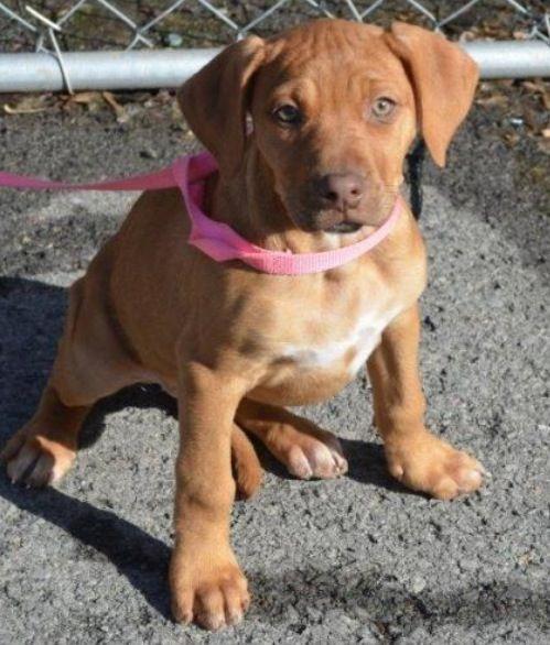 Redbone Coonhound Boxer mix F puppy spayed in