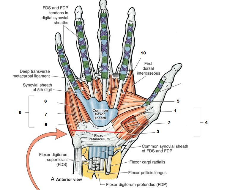 Anatomy Of The Anterior Palmar Hand Ot Activities Anatomy
