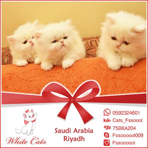 فالك طيب دعاية إعلان إعلانات تسويق تسوق الرياض قطط قطة قطوه بس أبيض بيضاء كات عروض تخفيضات Ad Ads Riyadh Saudi Ksa Cat Cats Cats Animals