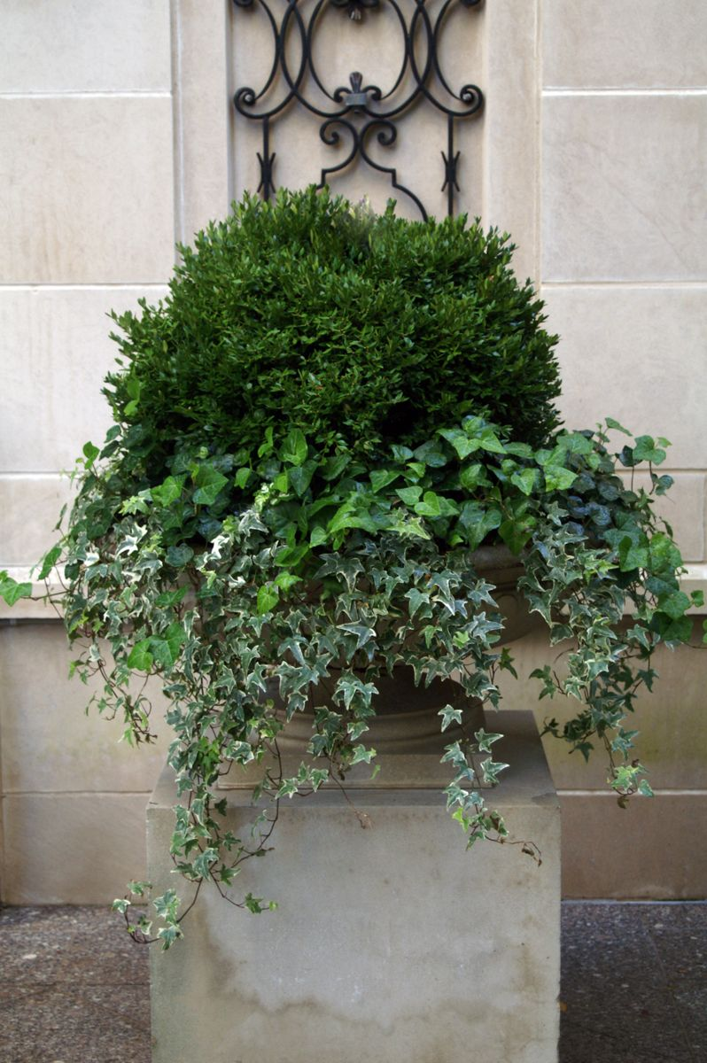 Summer Annuals Boxwood Ivy Urn Planter Container