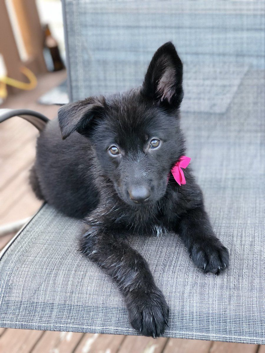 Black German Shepherd What Is A Black German Shepherd Black