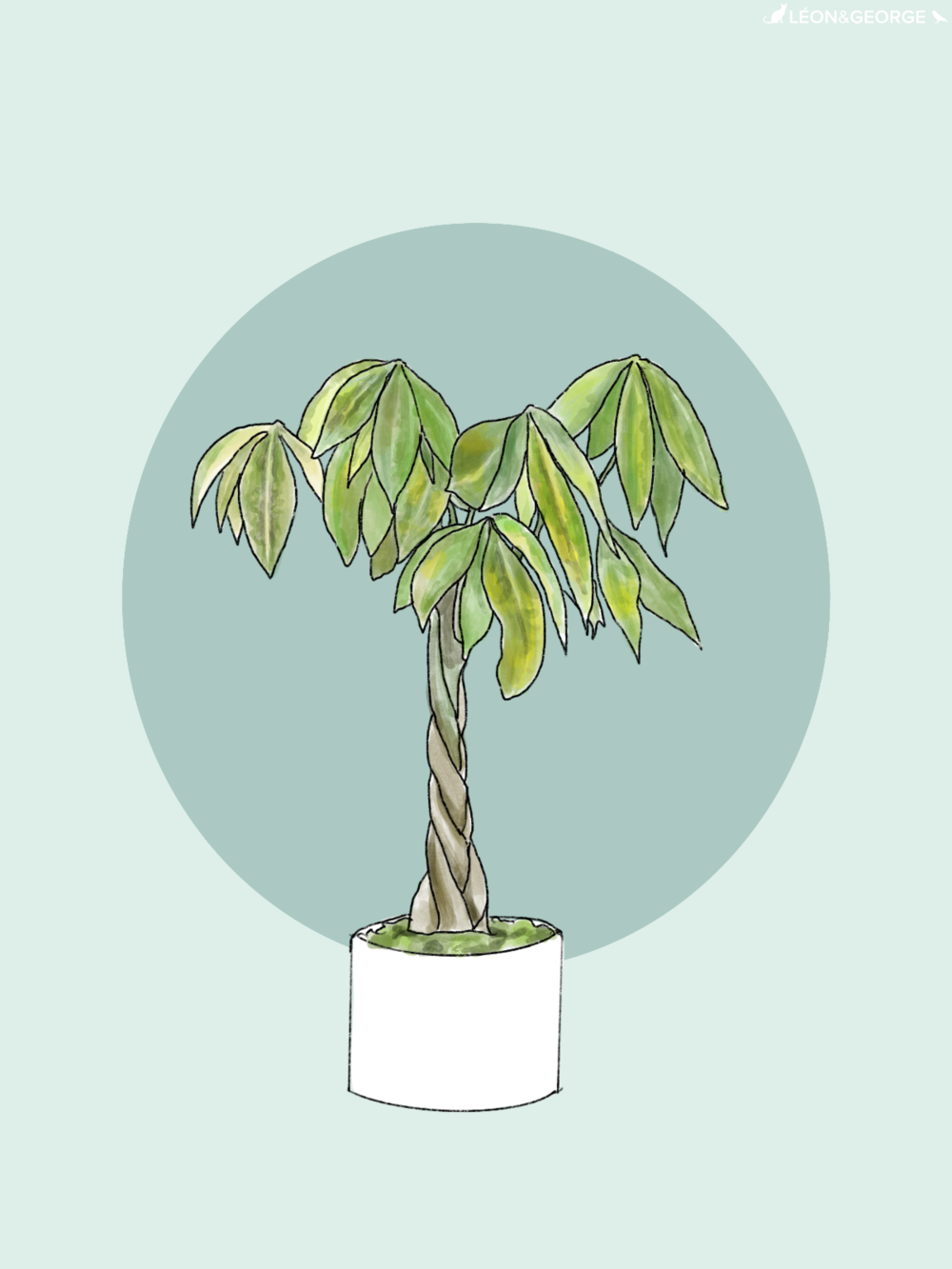 How To Care For And Grow Your Braided Money Tree La Residence Plant Care Tips And More Braided Care Gr Money Trees Money Tree Plant Care Money Tree Plant