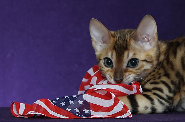 Bengal Kittens For Sale Maryland Nj Ny Pa Bengal Kitten Bengal Kittens For Sale Bengal Cat
