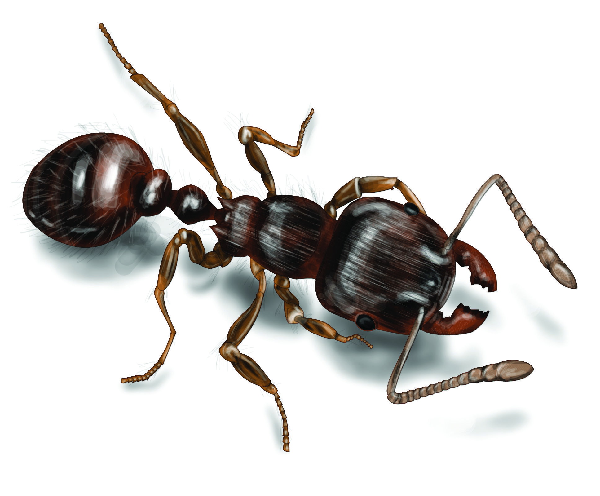Pavement Ant Illustration 1936x1600 Jpg 1 936 1 600 Pixels Ant Species Ants Pictures Of Insects