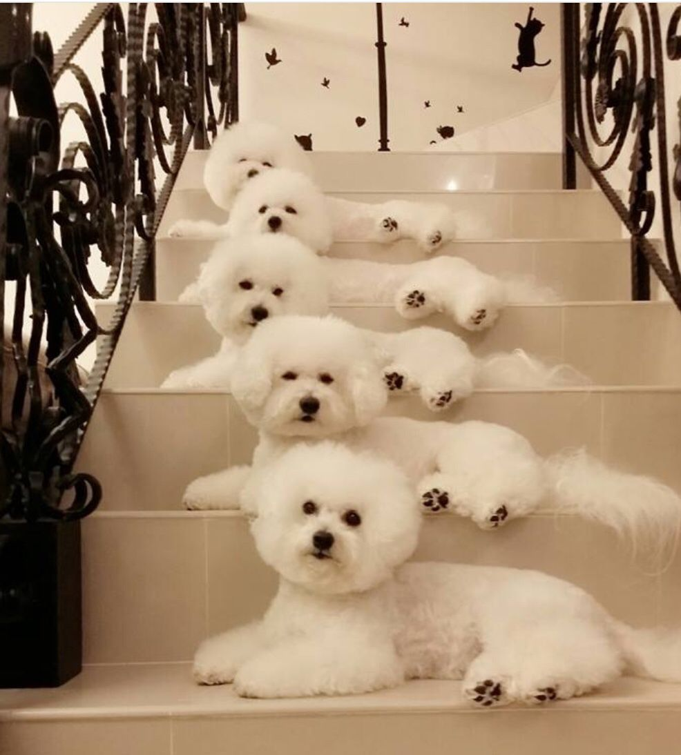 Oh My Goodness I Would Love To Have All Of Them How Beautiful Bichon Frise Cachorros Adorables Razas De Perros Toy