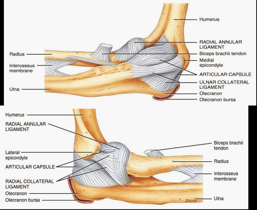 Human Anatomy And Physiology Diagrams Ulnar Collateral Ligament