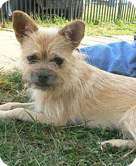 Spartanburg Sc Cairn Terrier Pug Mix Meet Buttercup Build Me