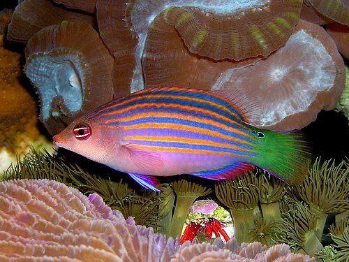 Six Line Wrasse Tropical Fish Tanks Saltwater Fish Tanks Marine Fish
