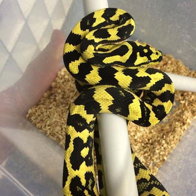 German Bloodline Jungle Carpet Python Carpetpython Python