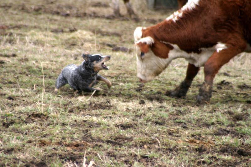 Blue Heeler Herding Blue Heeler Dogs Blue Heeler Dog Activities