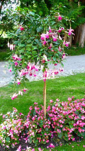 Picasa Web Albums Carmel Blanchard Romance Fuchsia Plant Fuchsia Garden Container Plants