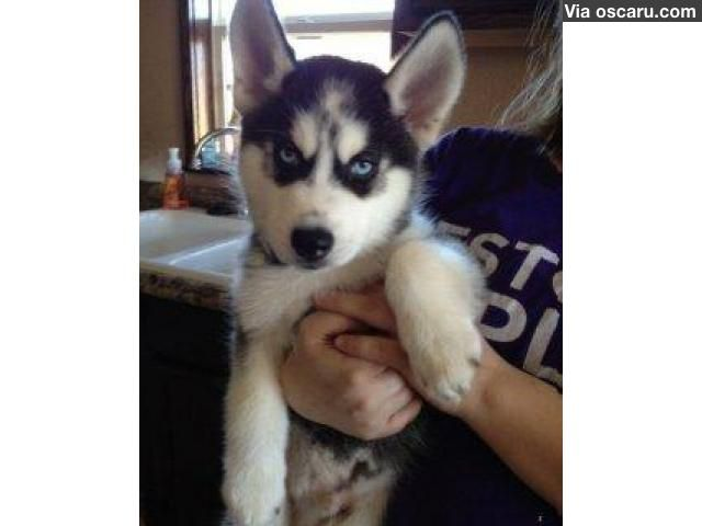Cute Husky Puppies For Free With Images Siberian Husky Puppies
