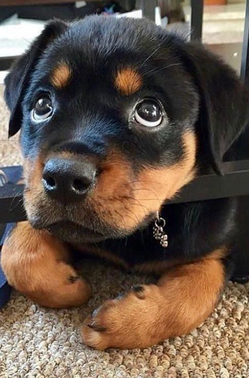 Rottweiler Puppies By Paige Hart On Puppies In 2020 Cute Baby