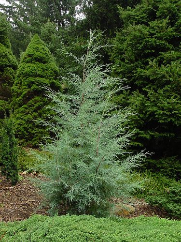 Carolina Shire Cypress Is The Fastest Growing Conifer We Ve Seen For Making A Privacy Screen Faster Than Leyland