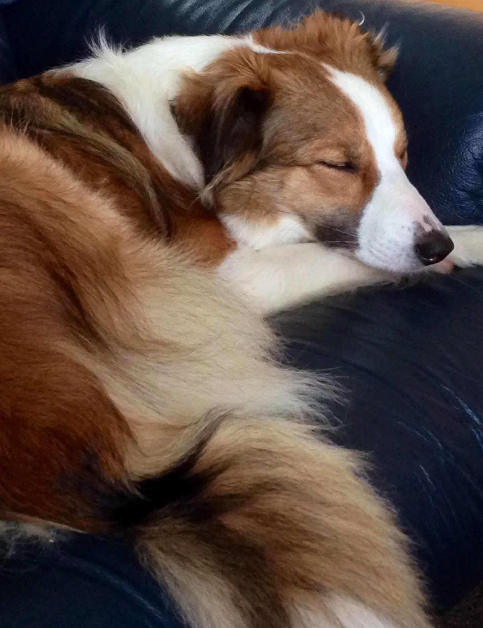 Pin On Sable And White Border Collie