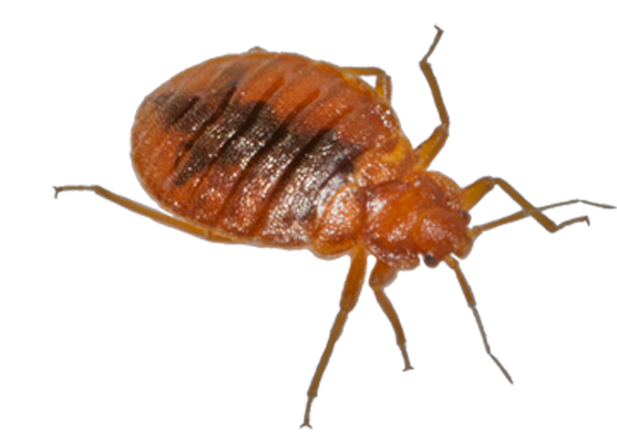 Ottawa Bed Bugs Control Bed Bug Control Pest Control Bed Bugs Bed Bug Bites
