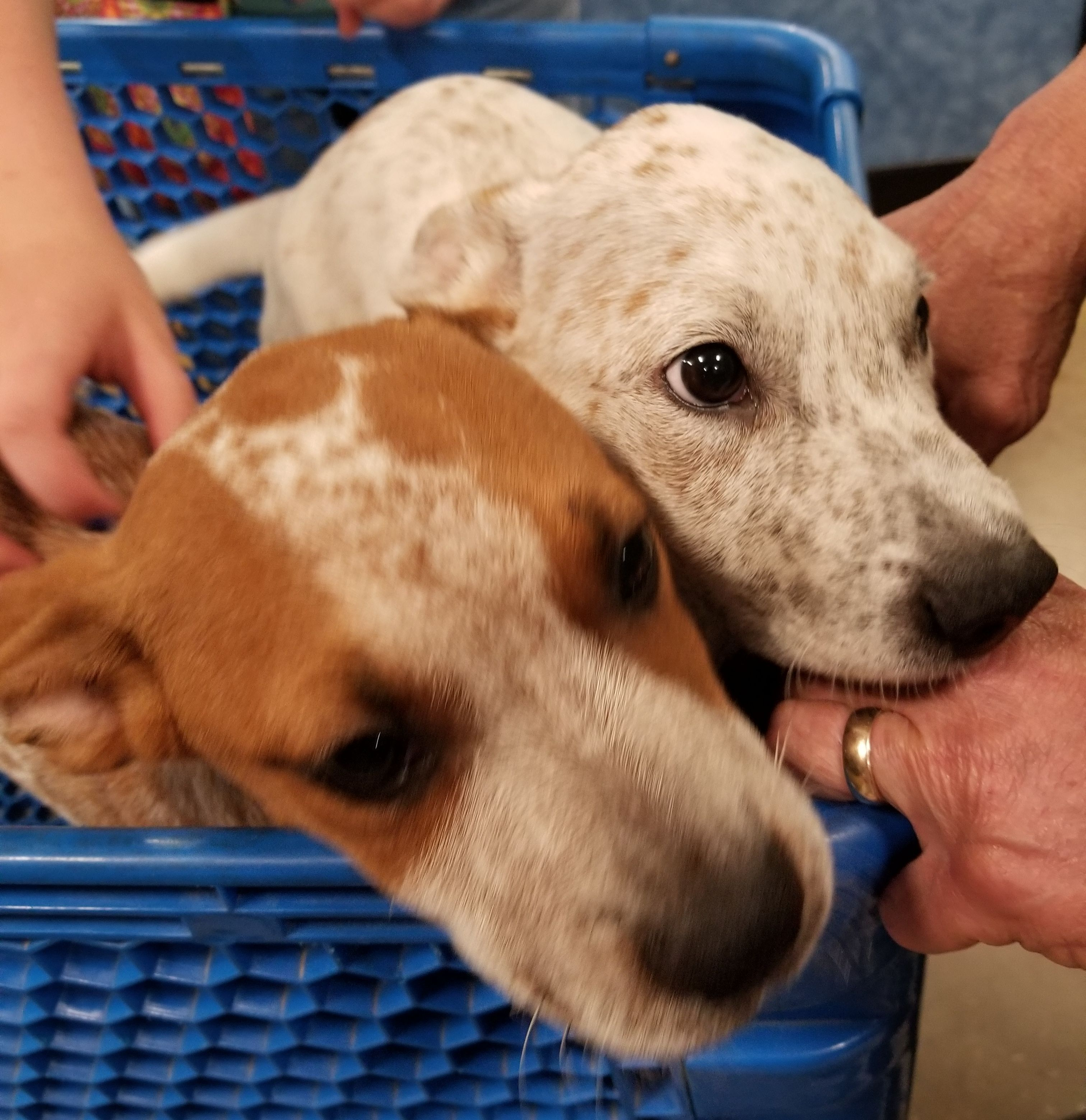 Adopt Digby And Derby On Petfinder Digby Australian Cattle Dog Blue Heeler Animal Rescue