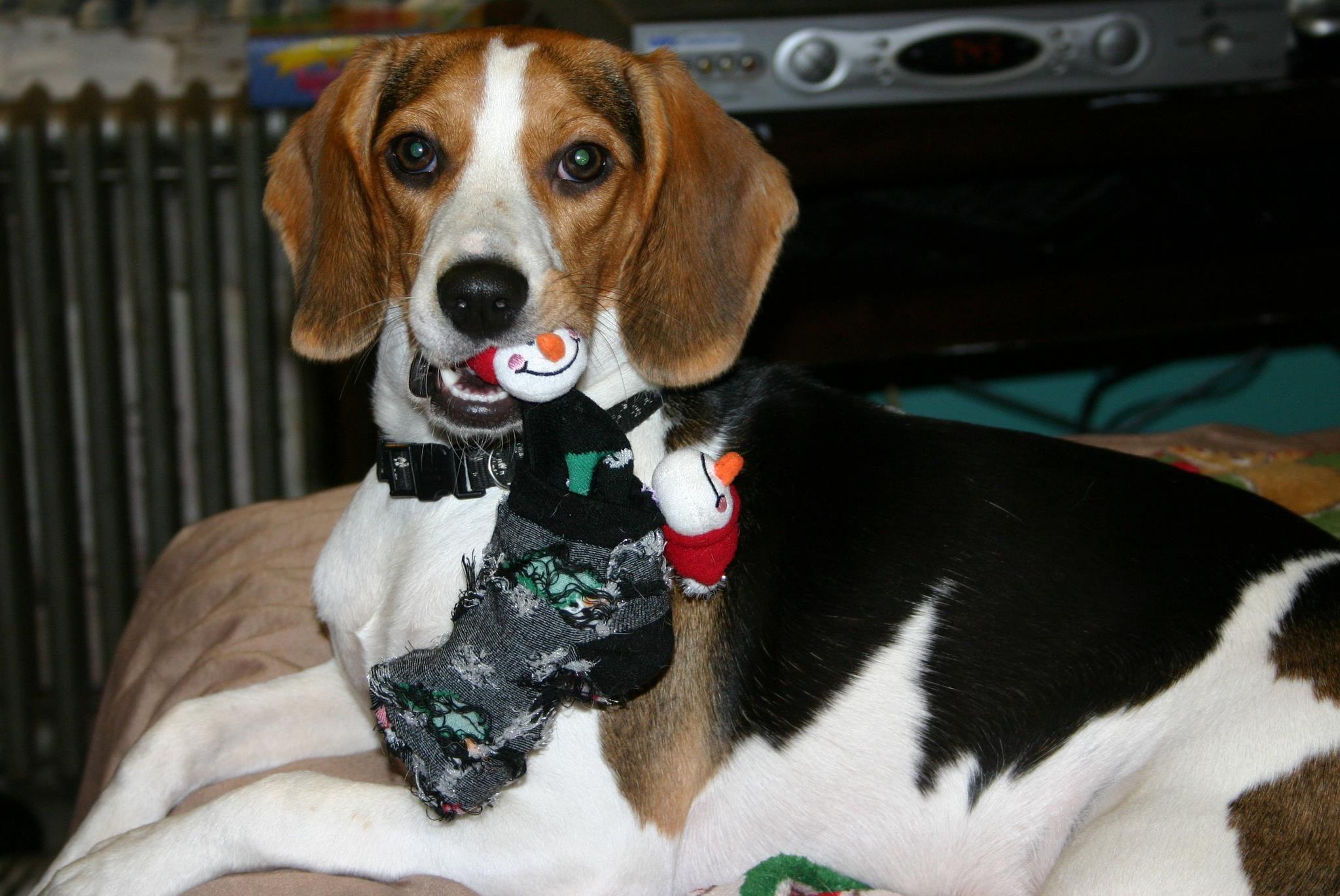 Pin On Beagle Brigade