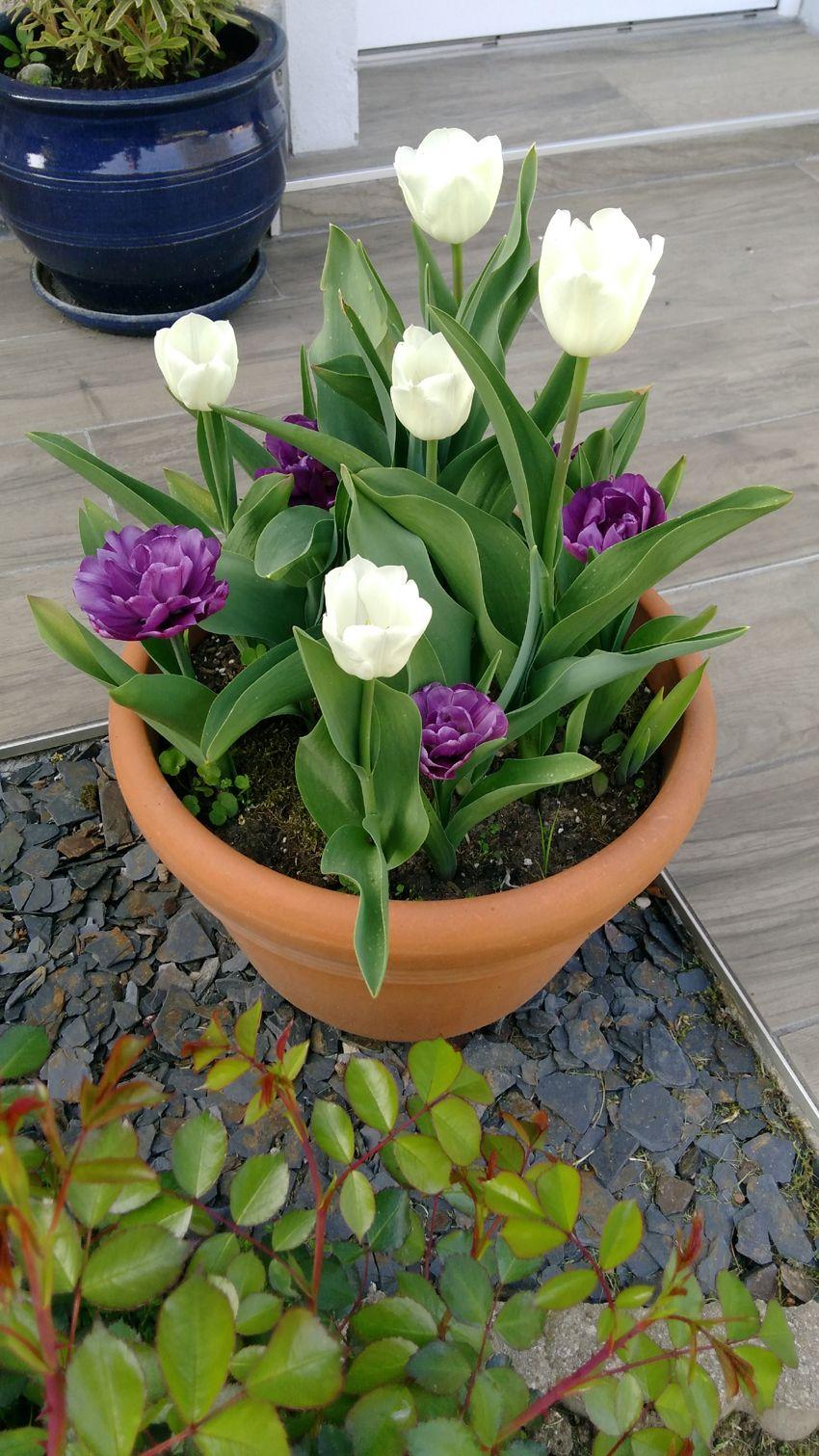 tulipes en pots Idées jardin, Jardins et Pots