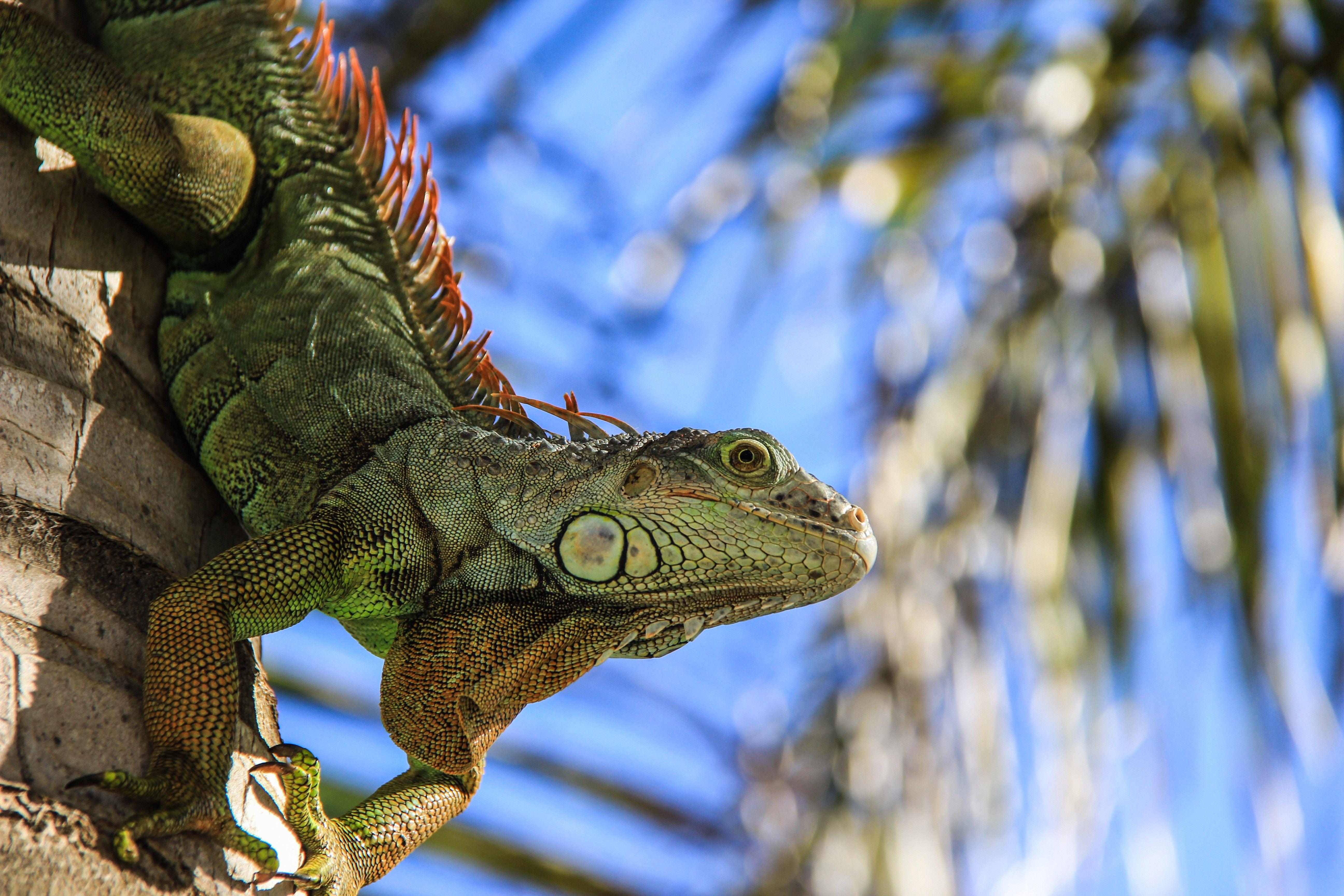 common iguana lizard wallpaper download high resolution