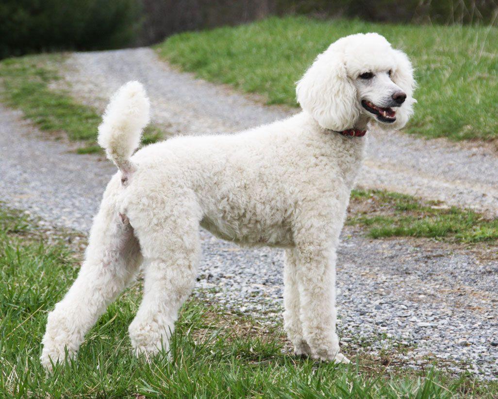 Poodle Dog Breeds Photoshopped Animals Dog Breeds That Dont Shed