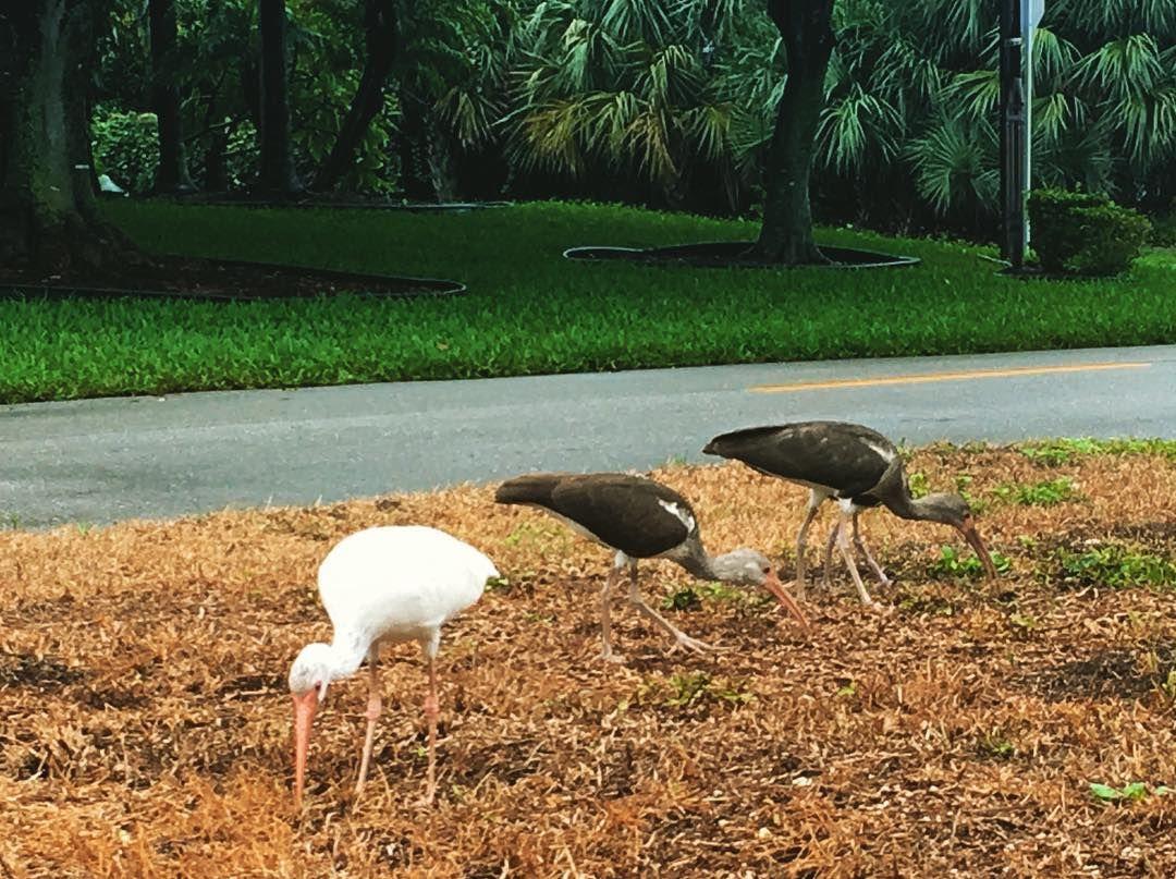 Baby egrets across the street!