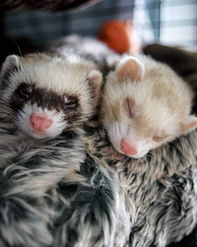 Dont wake us up mum...we dont like Mondays! #ferritism #ferretsoninstagram…