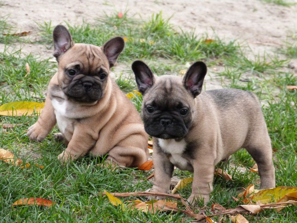 French Bulldog Bulldog Breeds French Bulldog Puppies Bulldog
