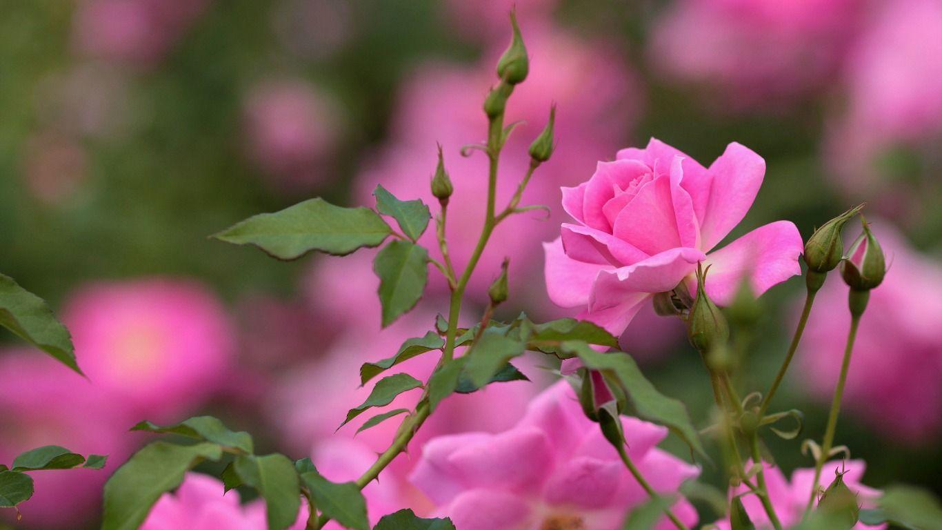 нежная картинки для рабочего стола природа и роза мне жаль