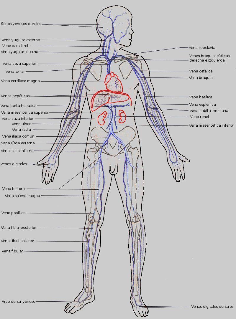 Venas mayores del circuito sistémico | Medicina | Pinterest | Vasos ...