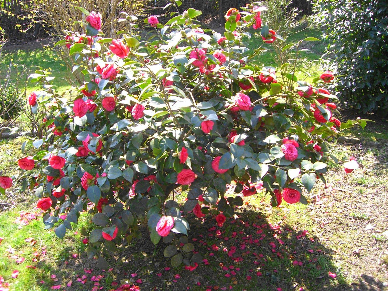 Lilas d ESPAGNE ou Valeriane Jardin Pinterest