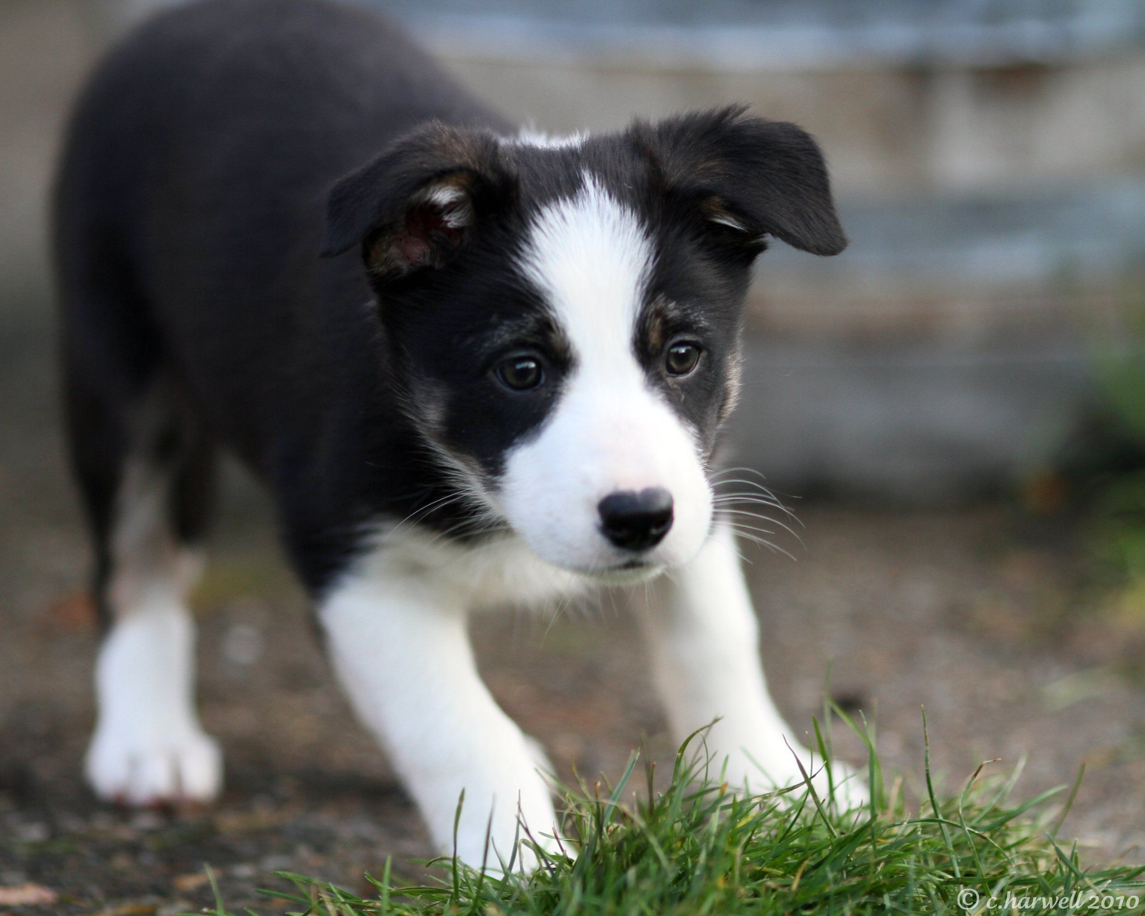 Darling Border Collie dog