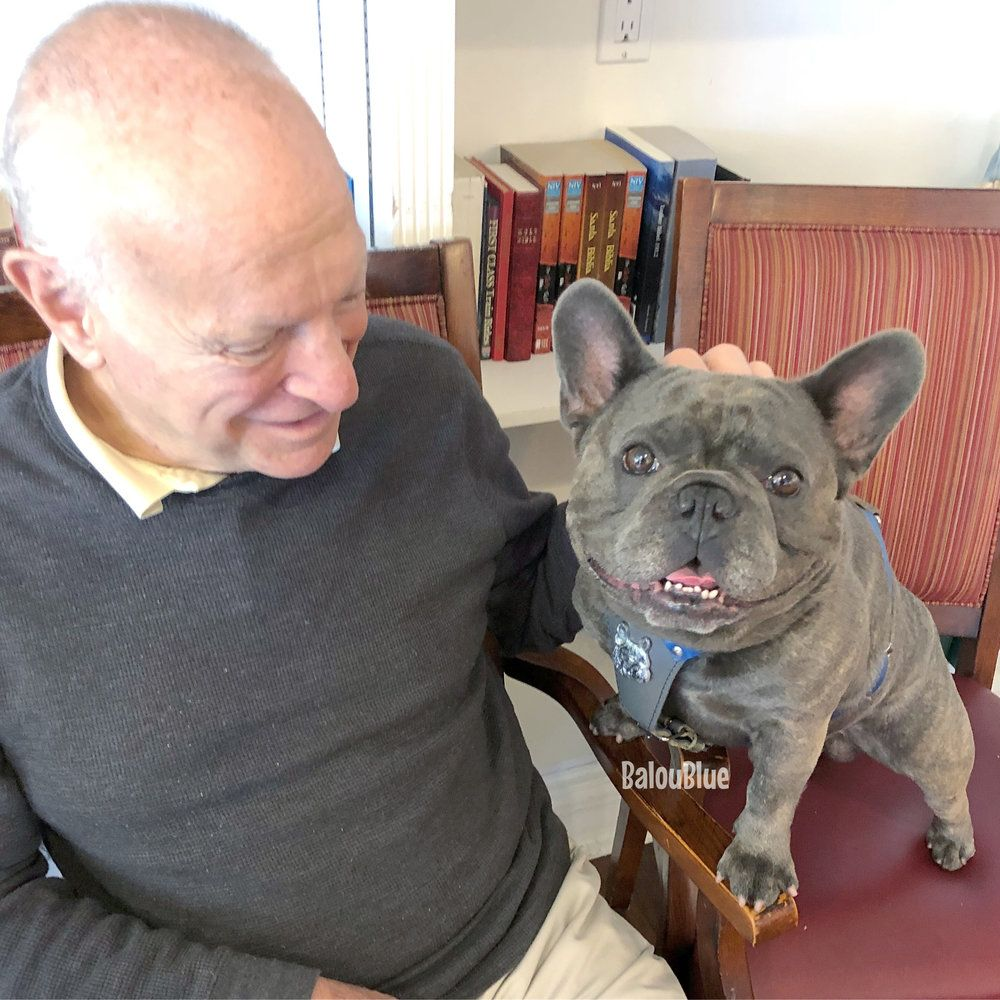 I Love My Job Balou Blue Blue Frenchie Therapy Dog French