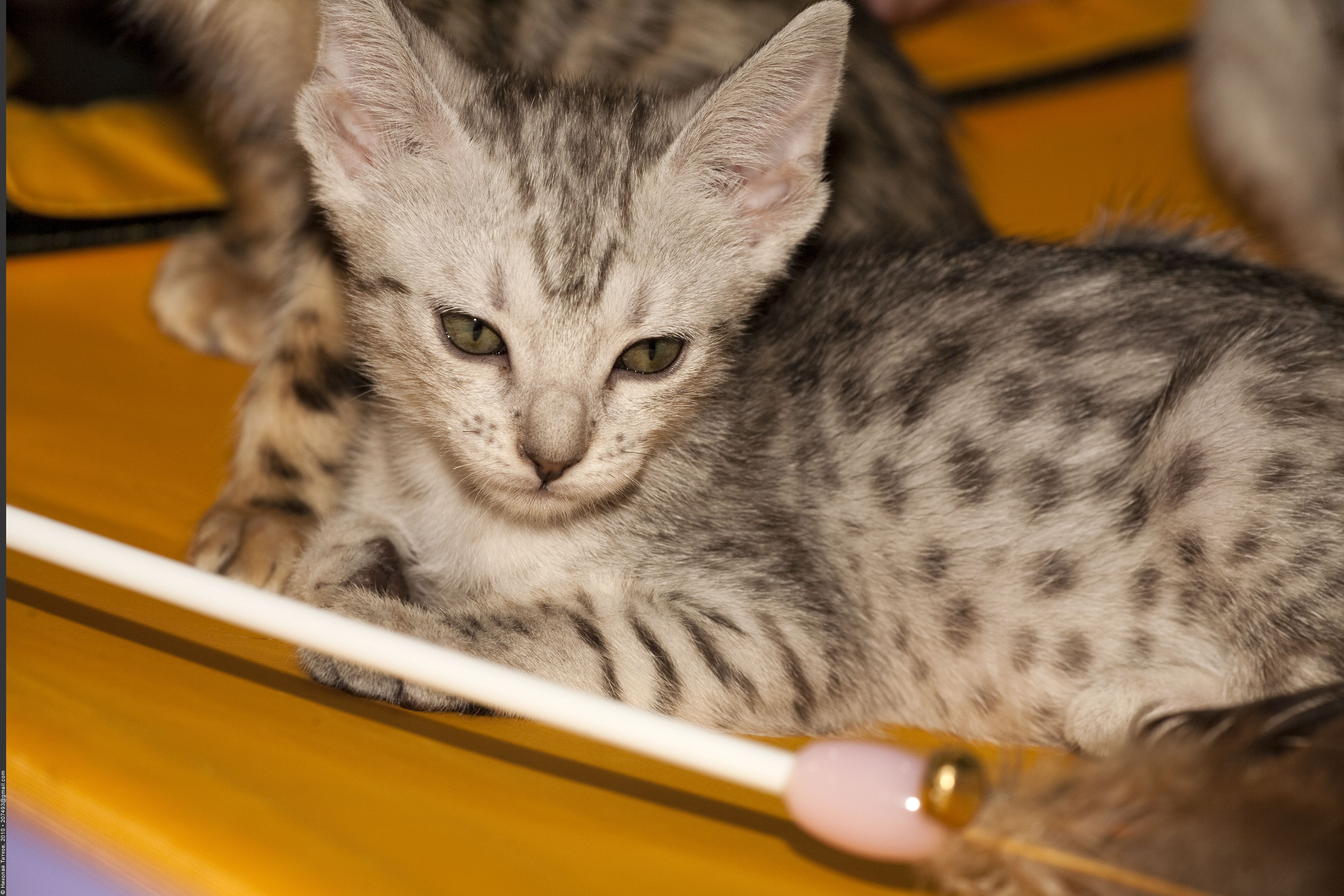 Ocicat Kitten Nickolas Titkov The Ocicat Cat Is An All Domestic Breed Of Cat Which Resembles A Wild Cat But Has No Wild Dna Ocicat Cat Behavior Problems Cats