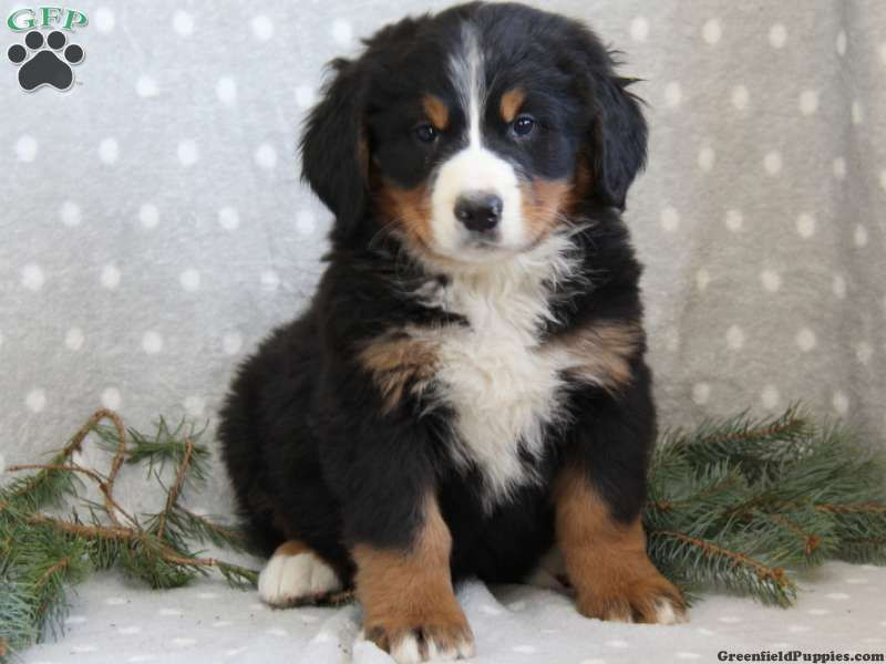 Clifford Bernese Mountain Dog Puppy For Sale From Narvon