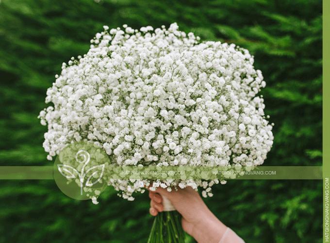 Bán hạt giống hoa baby trắng giá rẻ - Hướng dẫn cách trồng ...