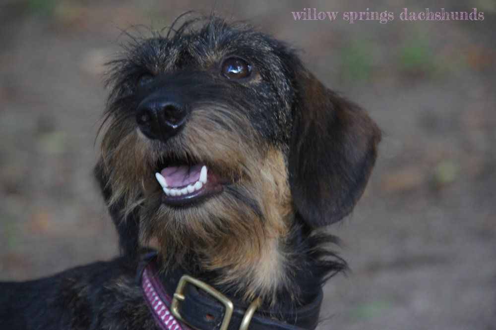 Willow Springs Dachshunds Breeder Of Miniature Wirehaired