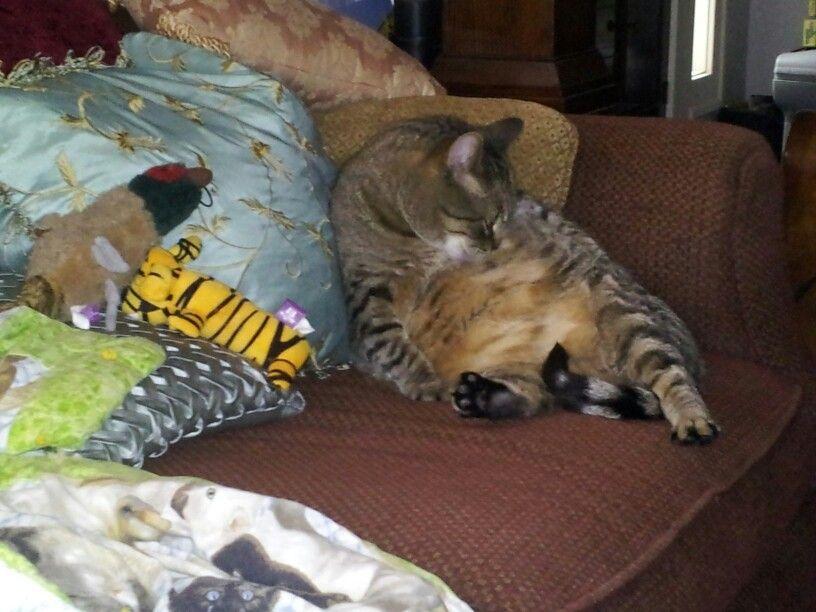 Fat Tiger Cat Love