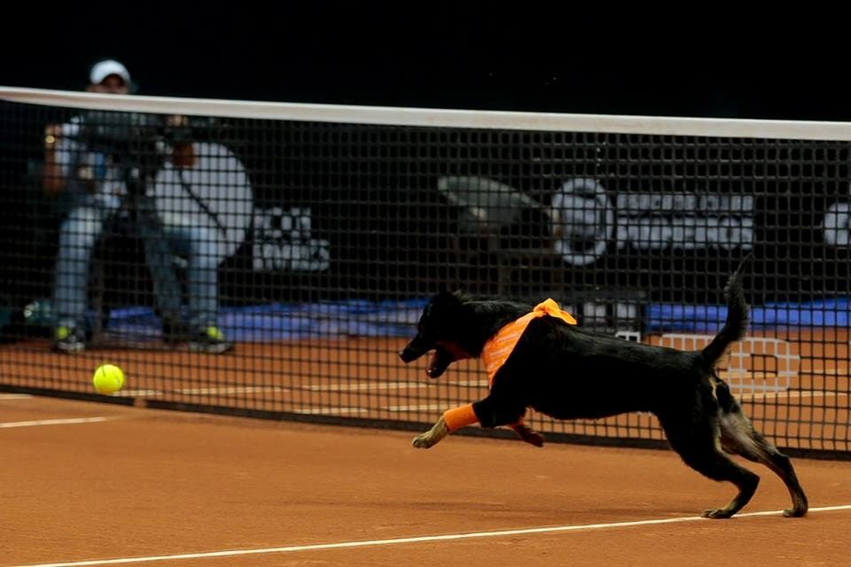 Rescue Dogs Will Take Over For Ball Boys At Tennis