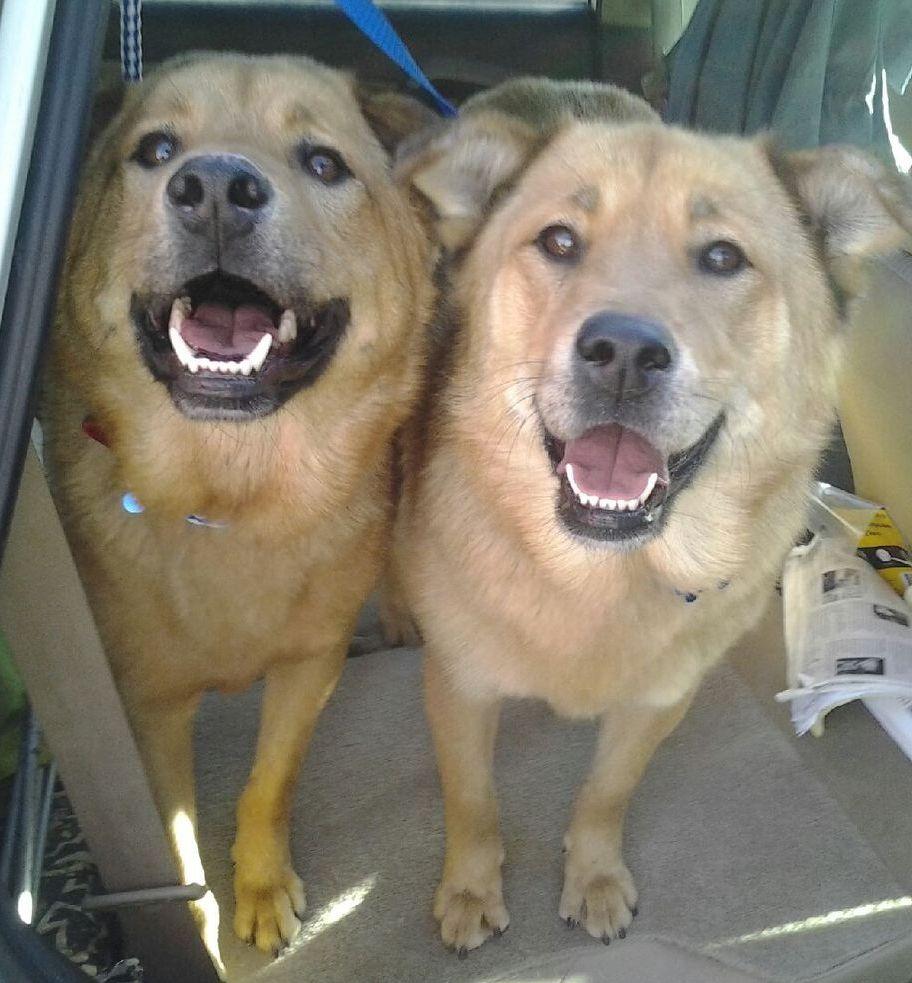 Golden Labrador dog for Adoption in Los Angeles, CA. ADN